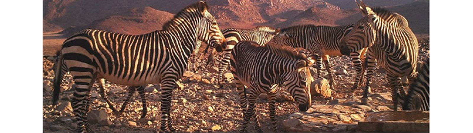 Mountain Zebra Project